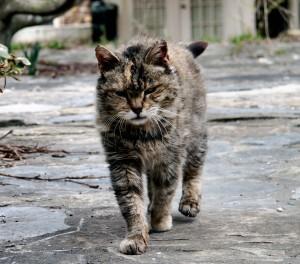 Feral_barn_cat